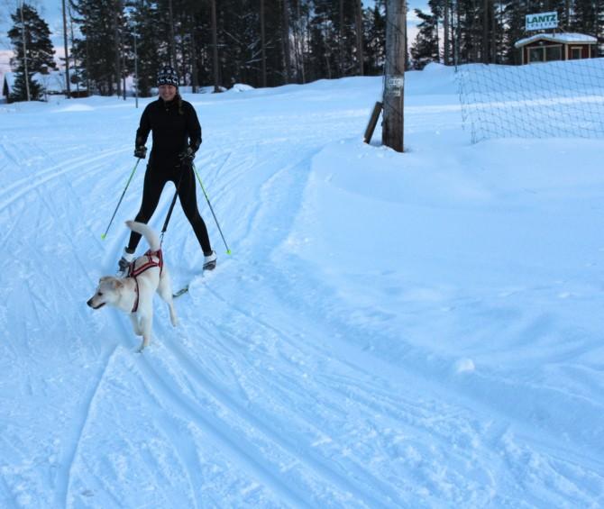 Längdskidåkning med hund