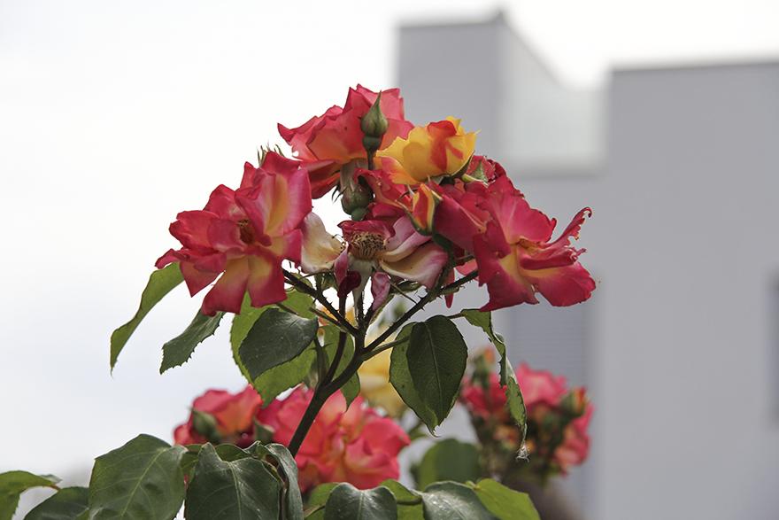 blommor-alcudia